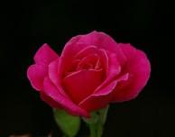 Rosa, Merrill Lyew