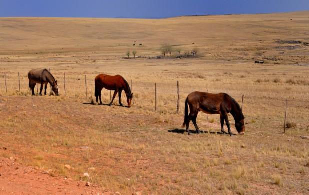 Tres caballo, tres.