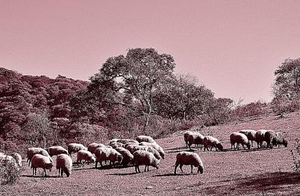 Rebaño de ovejas, Salta